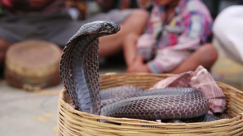 Close-up portrait of cobra Live Action