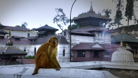 Monkey sitting on wall, pashupatinath temple, kath Footage