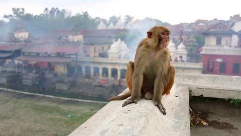 Monkey sitting on wall, pashupatinath temple, kath Footage