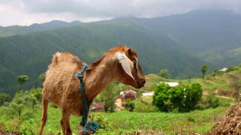 Goats in pasture at Himalayas Mountains, Nepal Footage