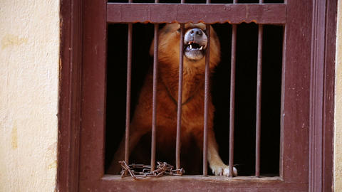 Dog barking in its cage Footage