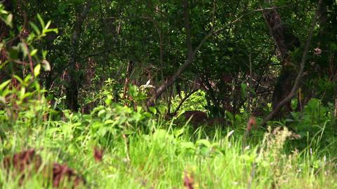 Antelope herd Footage