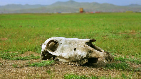 Skull Lying On Grass stock footage