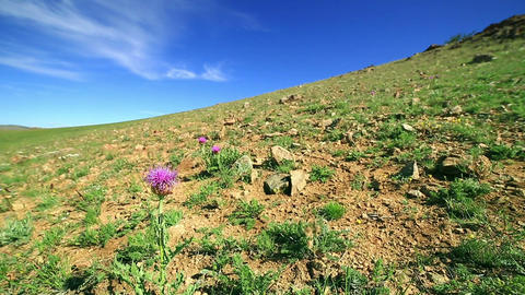 Snowdrop Wildflowers growing in steppe Footage