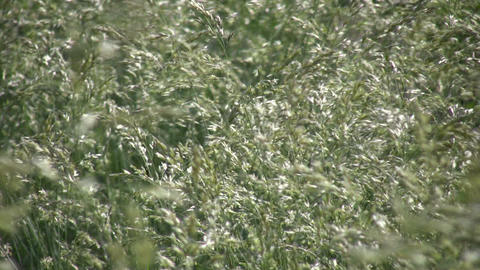 Field of green grass gently sways in wind (High Definition) Footage