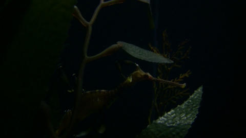 Weedy Seadragon rests in the dark water Stock Video Footage