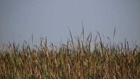 Dry tallgrass sways in wind on sunny day (High Definition) Footage