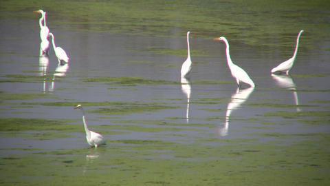 White Herons Are Hanging Around In The Marsh (High Definition) stock footage