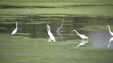 White and black herons are hanging around (High Definition) Footage
