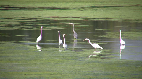 White and black herons are hanging around (High Definition) Stock Video Footage