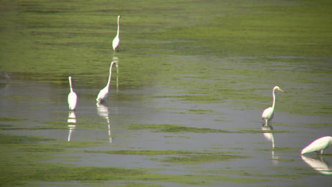 White herons are hanging around in the marsh (High... Stock Video Footage