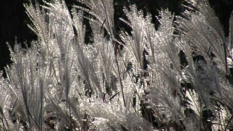 Silver Feather Grass is backlit by sunlight (High Definition) Live Action