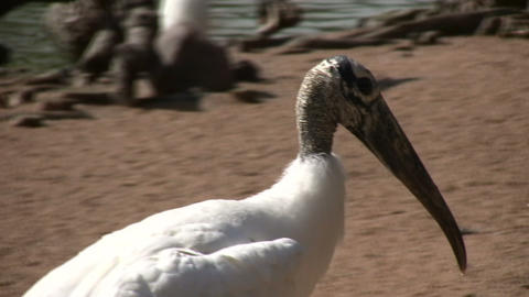 Wood Stork is hanging out in the sunlight Stock Video Footage