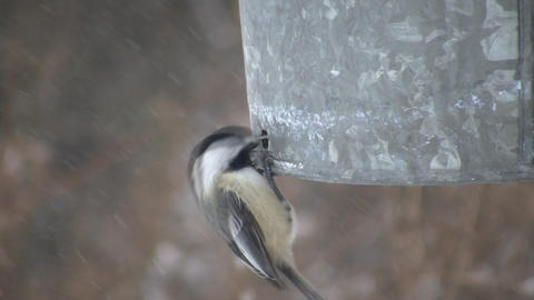 Hungry Black-capped Chickadees continuously eat seeds... Stock Video Footage