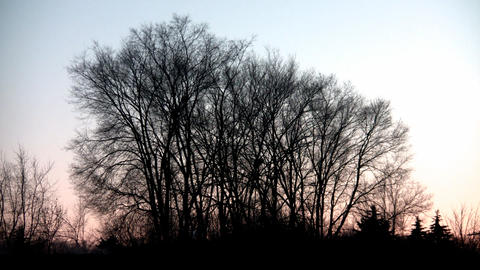 Trees at Dawn Stock Video Footage