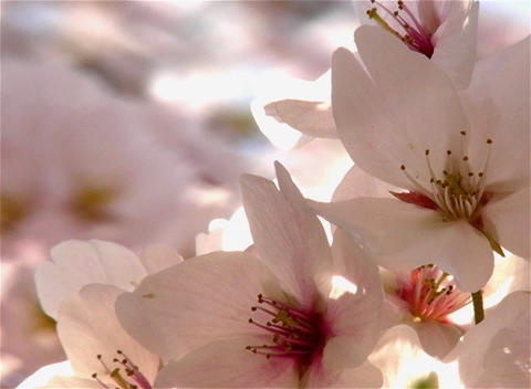 SAKURA 02 mov Cherry blossoms Stock Video Footage
