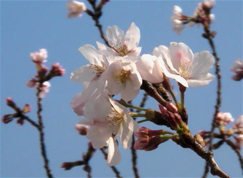 SAKURA 04 mov Cherry blossoms Footage