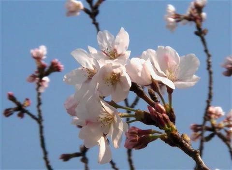 SAKURA 04 mov Cherry blossoms Stock Video Footage