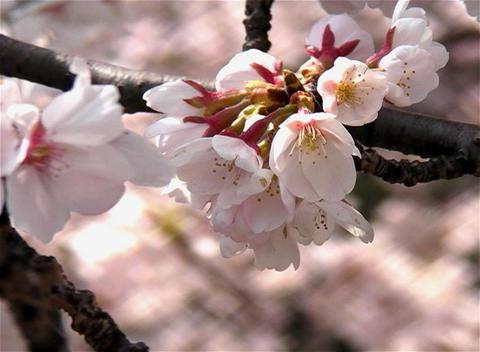 SAKURA 06 mov Cherry blossoms Stock Video Footage