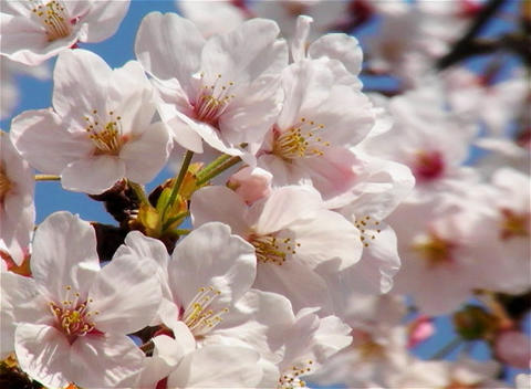 SAKURA 08 mov Cherry blossoms Stock Video Footage
