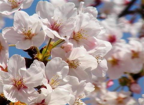 SAKURA 08 mov Cherry blossoms Stock Video Footage