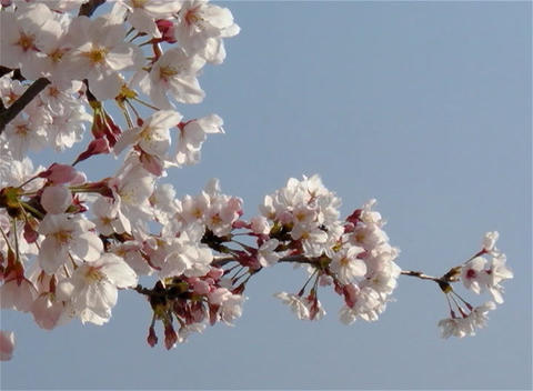 SAKURA 10 mov Cherry blossoms Stock Video Footage