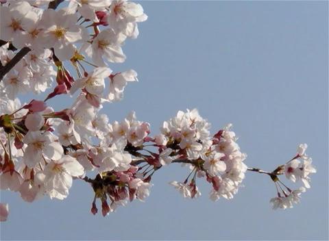 SAKURA 10 mov Cherry blossoms Stock Video Footage