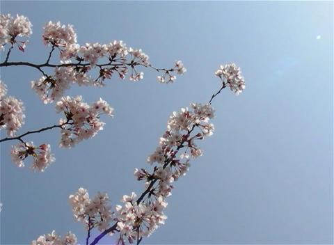 SAKURA 12 mov Cherry blossoms Stock Video Footage