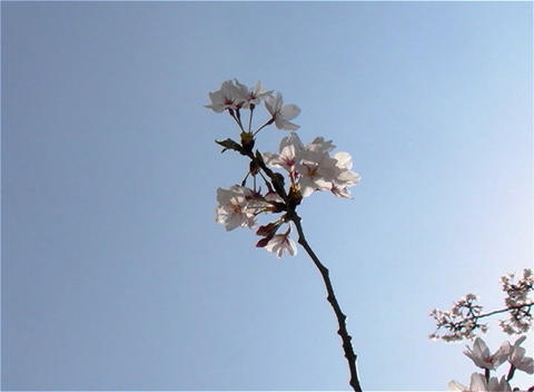 SAKURA 14 mov Cherry blossoms Stock Video Footage