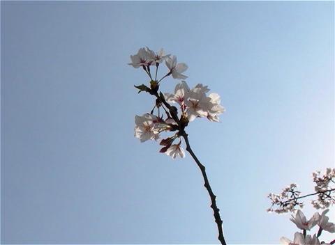 SAKURA 14 mov Cherry blossoms Stock Video Footage