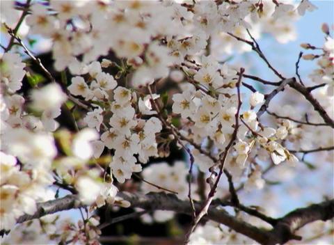 SAKURA 16 mov Cherry blossoms Stock Video Footage