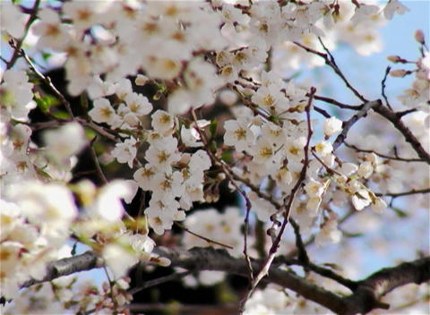 SAKURA 16 mov Cherry blossoms Footage