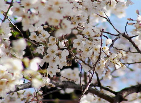 SAKURA 16 mov Cherry blossoms Stock Video Footage