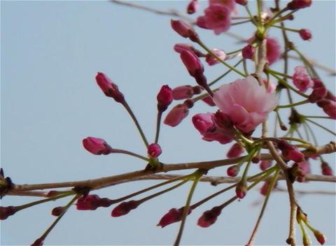 SAKURA 18 mov Cherry blossoms Stock Video Footage