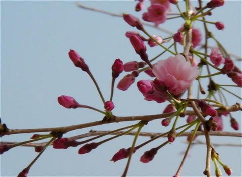 SAKURA 18 mov Cherry blossoms Footage