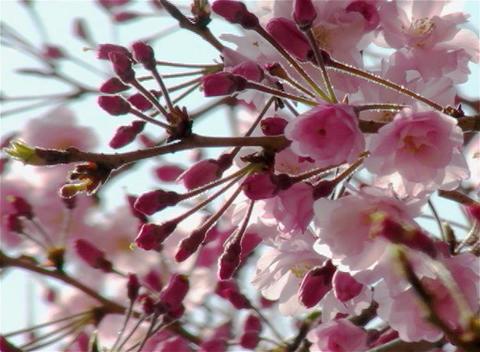 SAKURA 20 mov Cherry blossoms Stock Video Footage