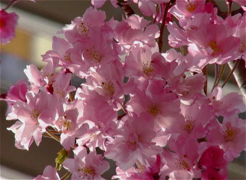 SAKURA 22 mov Cherry blossoms Stock Video Footage