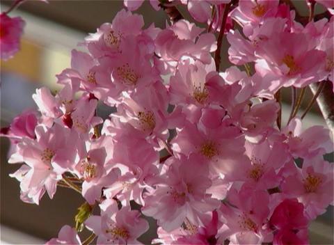 SAKURA 22 mov Cherry blossoms Stock Video Footage