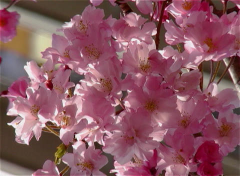 SAKURA 22 mov Cherry blossoms Footage
