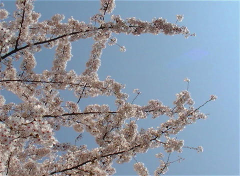 SAKURA 24 mov Cherry blossoms Footage