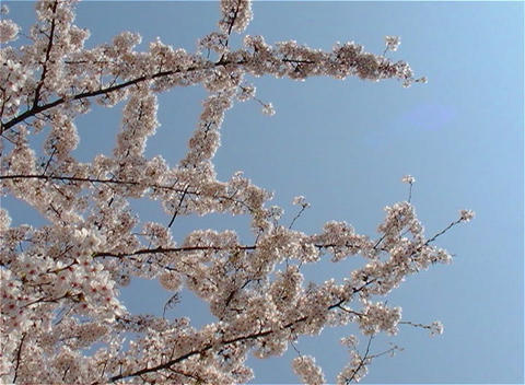 SAKURA 24 mov Cherry blossoms Stock Video Footage