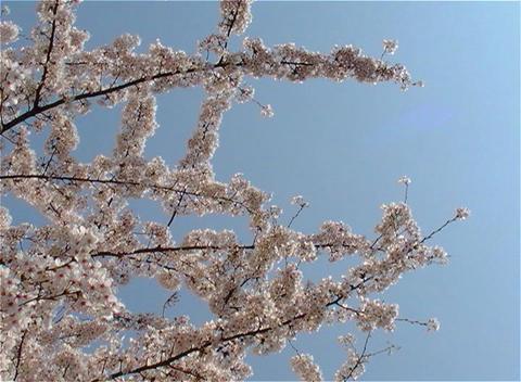SAKURA 24 mov Cherry blossoms Stock Video Footage