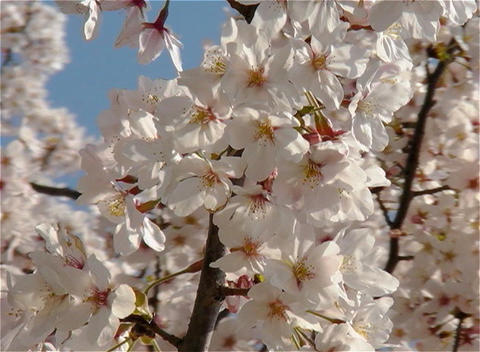 SAKURA 26 mov Cherry blossoms Footage