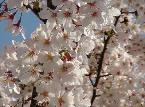 SAKURA 26 mov Cherry blossoms Stock Video Footage