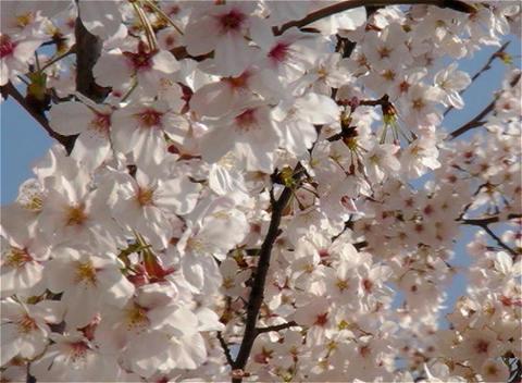 SAKURA 26 mov Cherry blossoms Stock Video Footage