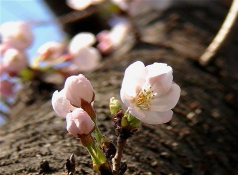 SAKURA 28 mov Cherry blossoms Footage