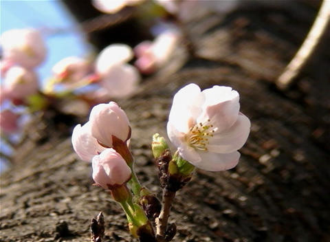 SAKURA 28 mov Cherry blossoms Stock Video Footage