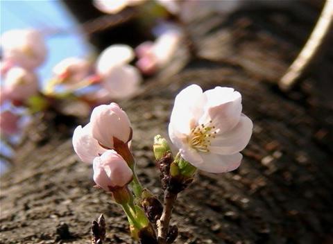 SAKURA 28 mov Cherry blossoms Stock Video Footage