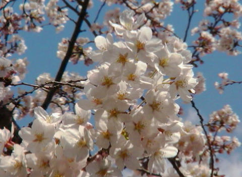 SAKURA 30 mov Cherry blossoms Footage