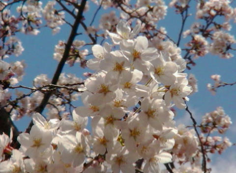 SAKURA 30 mov Cherry blossoms Stock Video Footage